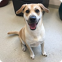 Shiba Inu/Labrador Retriever Mix Dog for adoption in Myakka City, Florida - Dobie