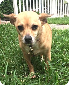 Chihuahua Mix Dog for adoption in Boca Raton, Florida - Nadia