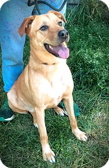 Carolina Dog/Labrador Retriever Mix Dog for adoption in Cherry Valley, New York - Nala