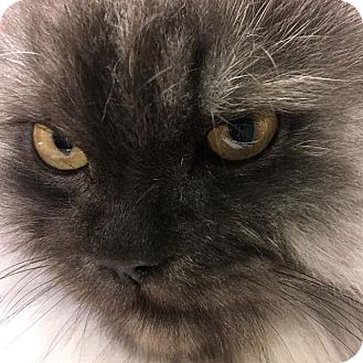 Persian Cat for adoption in New York, New York - Babyface