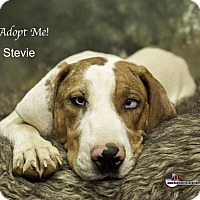 Catahoula Leopard Dog Puppy for adoption in Acton, California - Stevie