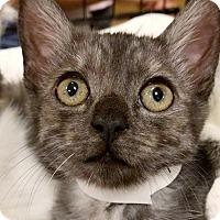 Adopt A Pet :: Michonne - Irvine, CA