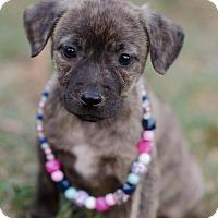Adopt A Pet :: Sheba $250 - Seneca, SC
