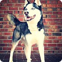 Siberian Husky Dog for adoption in Alpharetta, Georgia - Elvis