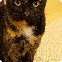 Domestic Shorthair Cat for adoption in Toronto, Ontario - Mabelline