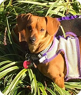 Dachshund/Chihuahua Mix Dog for adoption in Orangeburg, South Carolina - Adoption pending - Mimi2