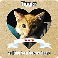Domestic Shorthair Kitten for adoption in Hallandale, Florida - Tigger