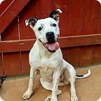 Boxer Mix Puppy for adoption in Allen town, Pennsylvania - Mai Tai