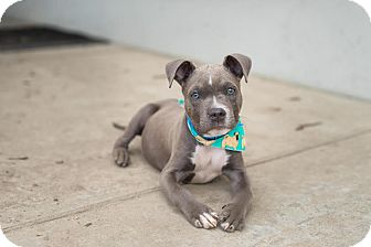 American Staffordshire Terrier/American Pit Bull Terrier Mix Puppy for adoption in santa monica, California - Bowie