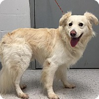Great Pyrenees Mix Dog for adoption in Humble, Texas - Benji