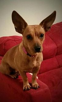 Chihuahua Mix Dog for adoption in Houston, Texas - Honey 5