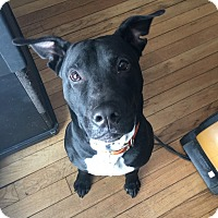 Adopt A Pet :: Bruce Wayne - Warren, MI