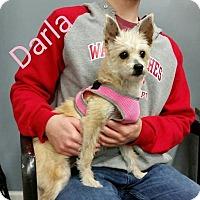 Adopt A Pet :: Darla - Plainfield, IL