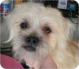 Shih Tzu/Terrier (Unknown Type, Medium) Mix Dog for adoption in Templeton, California - Gaz Tzu