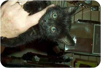 Domestic Mediumhair Kitten for adoption in Harriman, NY, New York - Misty