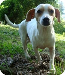 Chihuahua/Whippet Mix Dog for adoption in Ocala, Florida - CheeWaaWaa (Reduced)