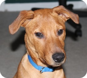 Labrador Retriever/Rhodesian Ridgeback Mix Puppy for adoption in Marlton, New Jersey - Mocha