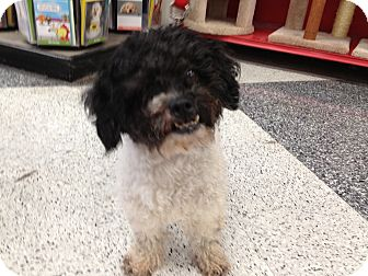 Poodle (Miniature) Dog for adoption in Van Nuys, California - Rasta