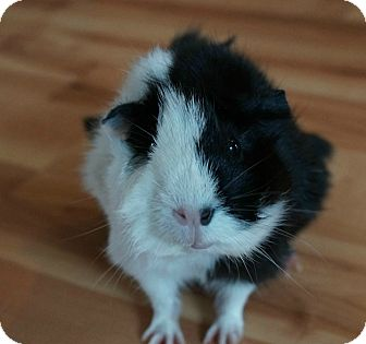 Guinea Pig for adoption in Brooklyn Park, Minnesota - Fiona