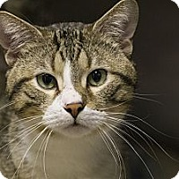 Domestic Shorthair Cat for adoption in Lombard, Illinois - Pepper