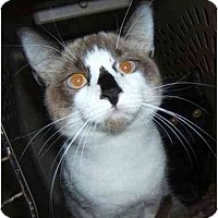 Adopt A Pet :: Pinnochio - Dallas, TX