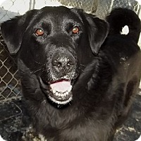 Labrador Retriever Mix Dog for adoption in Savannah, Missouri - Timmy
