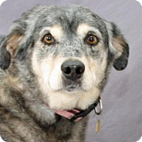 Adopt A Pet :: Sheba - Modesto, CA