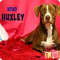 Adopt A Pet :: *HUXLEY - Sugar Land, TX