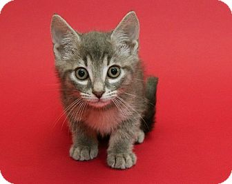 Domestic Shorthair Kitten for adoption in Garland, Texas - Jameson