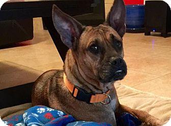 American Bulldog/Boston Terrier Mix Dog for adoption in Vancouver, British Columbia - Sunny