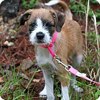 Adopt A Pet :: Ozie Boo - Rochester, NY