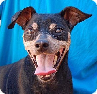 Miniature Pinscher Mix Dog for adoption in Las Vegas, Nevada - Tutankhamun