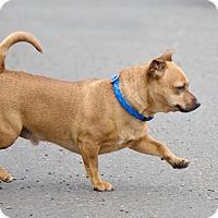 Adopt A Pet :: Yuki - Portland, OR