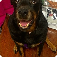 Adopt A Pet :: Asia- BIG MUSH! - Oak Ridge, NJ