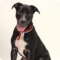 Labrador Retriever Mix Dog for adoption in Bradenton, Florida - Carl