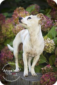 Jack Russell Terrier/Chihuahua Mix Dog for adoption in San Francisco, California - Skip