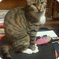 Adopt A Pet :: Tigger (Female Cat) - Waterbury, CT