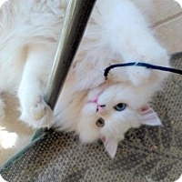 Turkish Angora Cat for adoption in Austin, Texas - Aspen