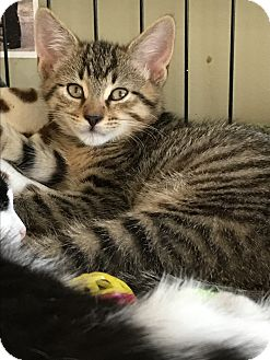 Domestic Shorthair Kitten for adoption in Island Park, New York - Billie