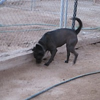 Labrador Retriever/Bull Terrier Mix Dog for adoption in Lancaster, California - Alexis