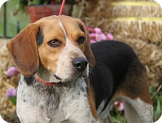 Beagle Mix Dog for adoption in Marietta, Ohio - Pup (Neutered)