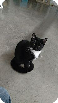 American Shorthair Cat for adoption in Odessa, Texas - Spy