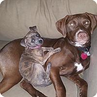 Weimaraner/Labrador Retriever Mix Puppy for adoption in Denver, Colorado - Charlotte