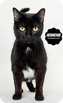 Domestic Shorthair Cat for adoption in Wyandotte, Michigan - Hermoine