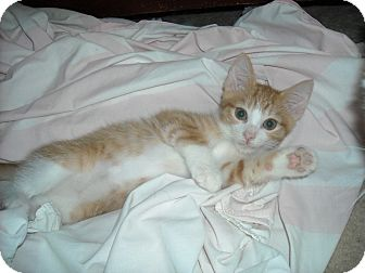 Domestic Shorthair Kitten for adoption in Arlington, Virginia - Angus-Lap /dog lover (& Polo)