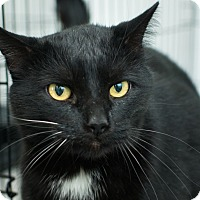 Domestic Shorthair Cat for adoption in Los Angeles, California - Hugo