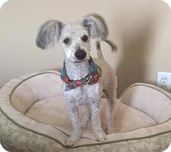 Poodle (Miniature) Mix Dog for adoption in Phoenix, Arizona - GUS GUS