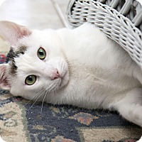 Domestic Shorthair Cat for adoption in Bristol, Connecticut - Bandit