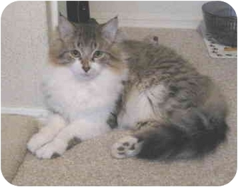 Domestic Longhair Cat for adoption in Mesa, Arizona - Mannie