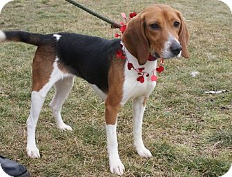 Beagle Mix Dog for adoption in Rockaway, New Jersey - Clarice II